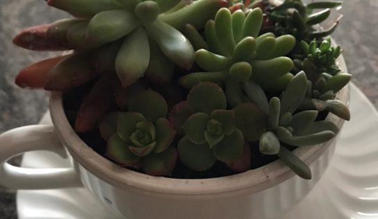Composizione di piante grasse fai da te; utilizzando tazze e tazzine