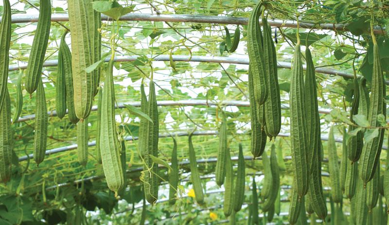 Luffa, spugna vegetale da coltivare sul balcone.