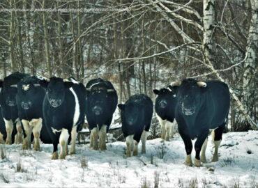 Mucche si radunano in mandrie spontanee a Chernobyl