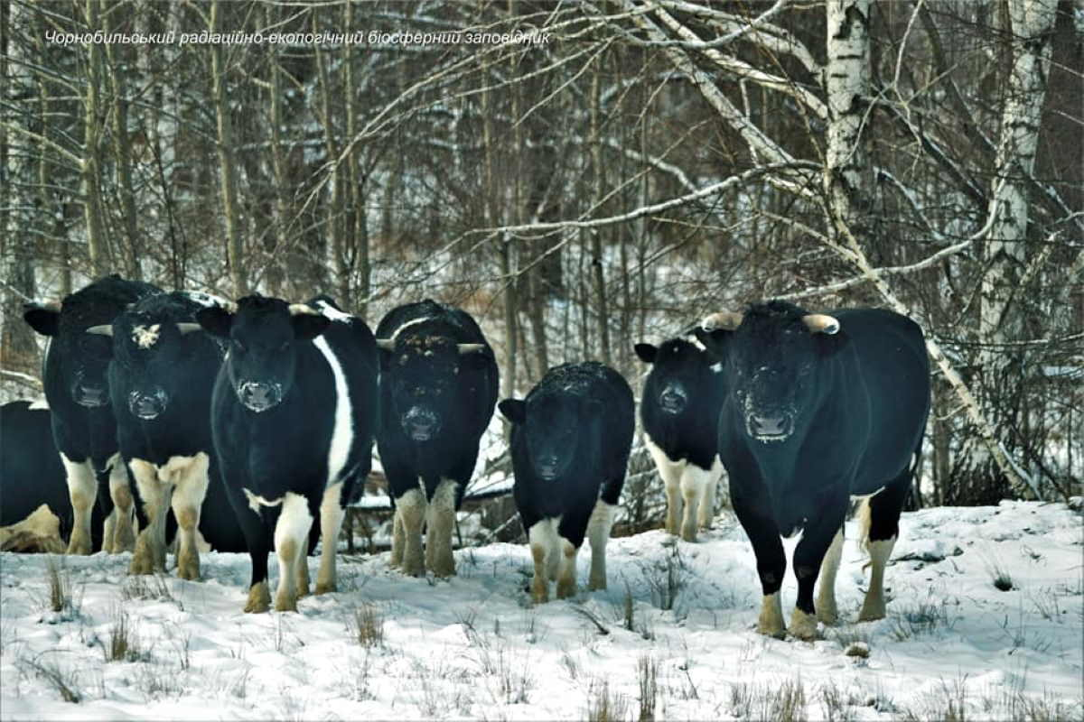Mucche si radunano in mandrie
