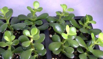 Proprietà curative della pianta grassa crassula