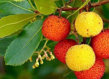 Il corbezzolo è un frutto capace di guarire la cistite, alleviare la prostata, fa bene al cuore e migliora l'umore.